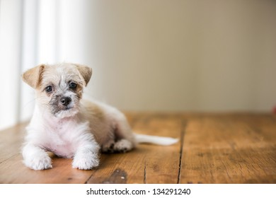 Young white cute puppy sitting on brown wooden floor