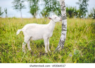 Young white goat eats the bark of a birch tree in a green field in the countryside in the summer