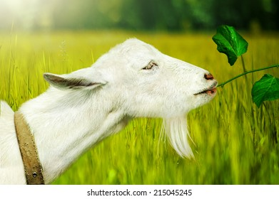 Young White Goat  eats a branch with leaves on a farm closeup