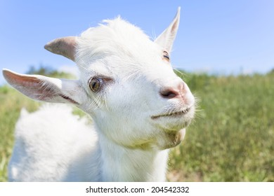 young white goat on meadows background closeup