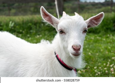 A young white goat walking on a leash on the green grass.