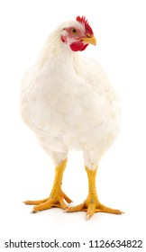 Young white hen isolated on white background.
