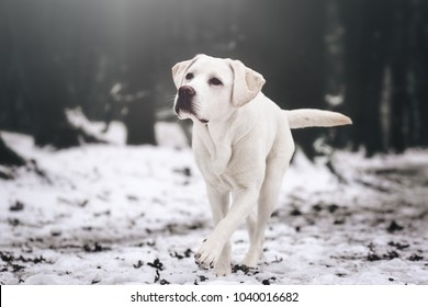 young white labrador retriever dog puppy during a winter walk looking gorgeous with copy space