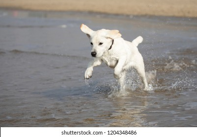 Young white labrador retriever pup running at the Seaside