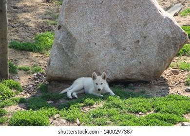 Young white North American Grey Wolf pup sitting in the shade