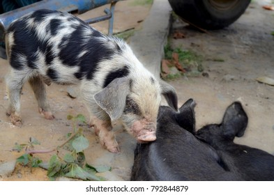 Young white pig with black specks