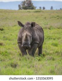 Young white rhino on green grassland