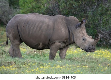 Young white rhino standing in long grass in Africa