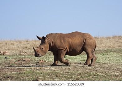 Young White Rhinocerus; Ceratotherium simum