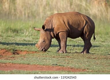 Young White Rhinocerus grazing on short green grass; Ceratotherium simum