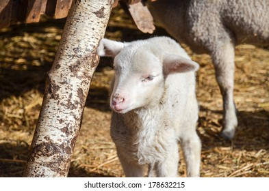 young white sheep in the farm