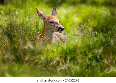 A young white tailed deer resting in tall grass.