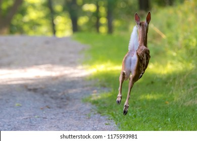 A young white tailed deer running away. Spots visible on his side. Deer is completely airborne. Grass on one side, path on the other, and trees behind.