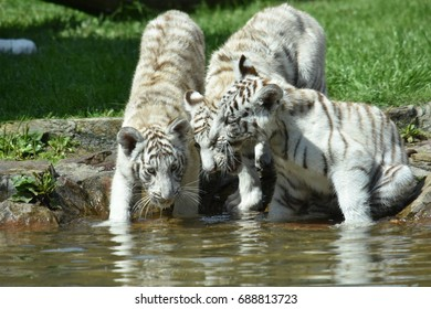 Young white tigers