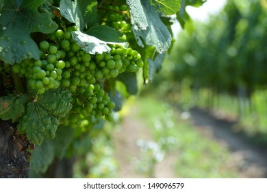 Young white wine