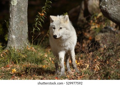 young white wolf in forest