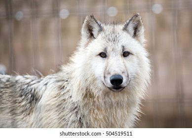young white wolf portrait