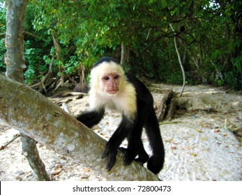 Young white-faced Capuchin monkey on a tree, national park of Cahuita, Central America, Costa Rica