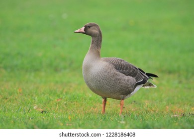 Young White-fronted Goose Anser albifrons foraging on a grass