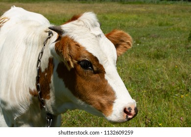 Young white-red heifer on a meadow. Heifer on the meadow. Private cattle breeding in Ukraine. Household subsidiary farming. A cow is grazing in a clearing.