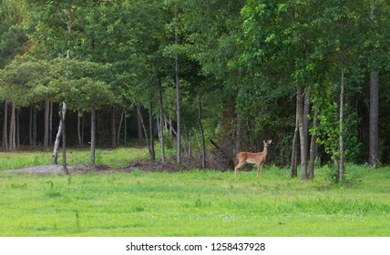Young whitetail buck with antlers just growing near some trees
