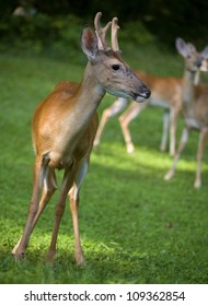 Young whitetail buck with antlers in velvet looking at some does