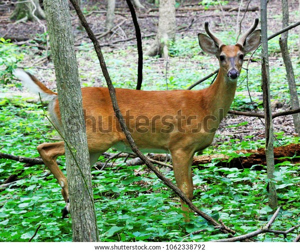 young whitetail buck in the forest