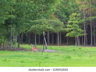 Young whitetail buck near a thick stand of trees