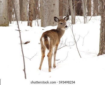 young whitetail deer end of winter
