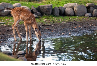 Young whitetail deer fawn, drinks water from a pond.  Reflection may be seen.
