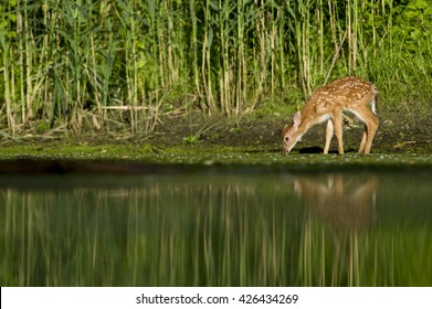 Deer Drinking Water Im...
