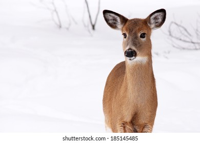 Young white-tail deer in the snow