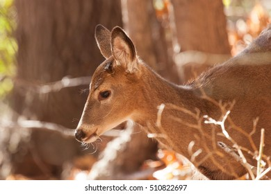 A young whitetailed deer doe grazes in the forest.