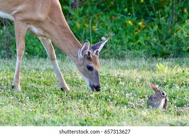 A young white-tailed deer and young eastern cottontail rabbit grazing next to each other in a field