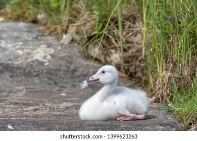 Young Whooper Swan (Cygnus Cygnus) resting on the shore