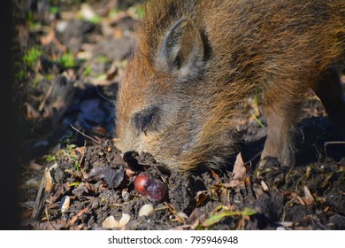 Young wild boar digs with his snout in forest floor.
