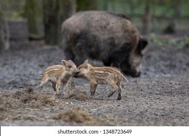 Young Wild Boar Europe