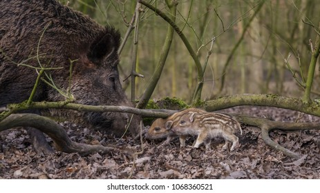 Young wild Boar in Forest