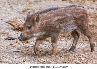 Young wild boar piglet walking