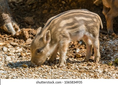 Young wild boar piglets playing