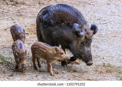 Young wild boar piglets walking with their mother