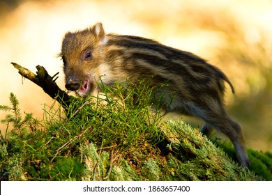 Young wild boar in the sun