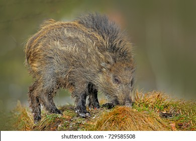 Young Wild boar, Sus scrofa on meadow hillock with forest in background, Czech republic. Wildlife scene from nature.