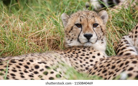 Young wild cheetah cat with beautiful spotted fur resting in the long grass