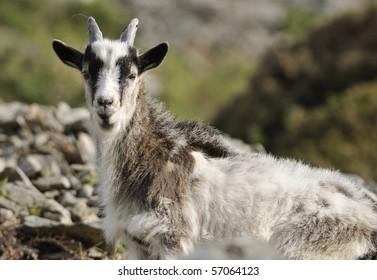 Young Wild Cheviot Goat at Valley Of The Rocks, Lynton, Devon