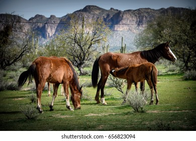 young wild colt nursing while mare grazes nearby.  Lush green grass of springtime stand out against the usury mountains in the background.  wild herd band located outside Phoenix Arizona