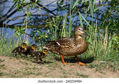 Young wild ducks