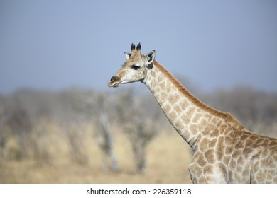 Young wild female giraffe in the african savannah