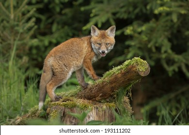 Young wild fox in a forest
