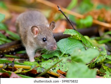 Young wild grey rat near his native nest